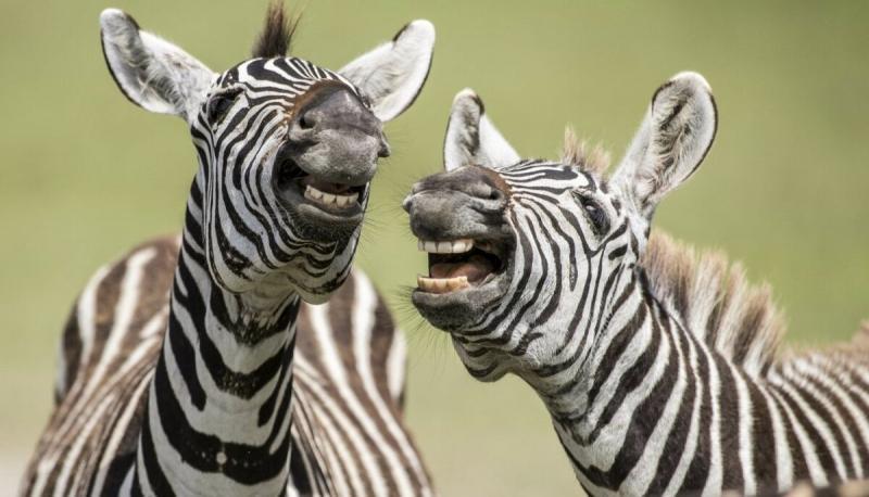 """""""Зебры – блондинки или брюнетки?"""": посчитал сколько полосок у зебры (каждая уникальная)"""