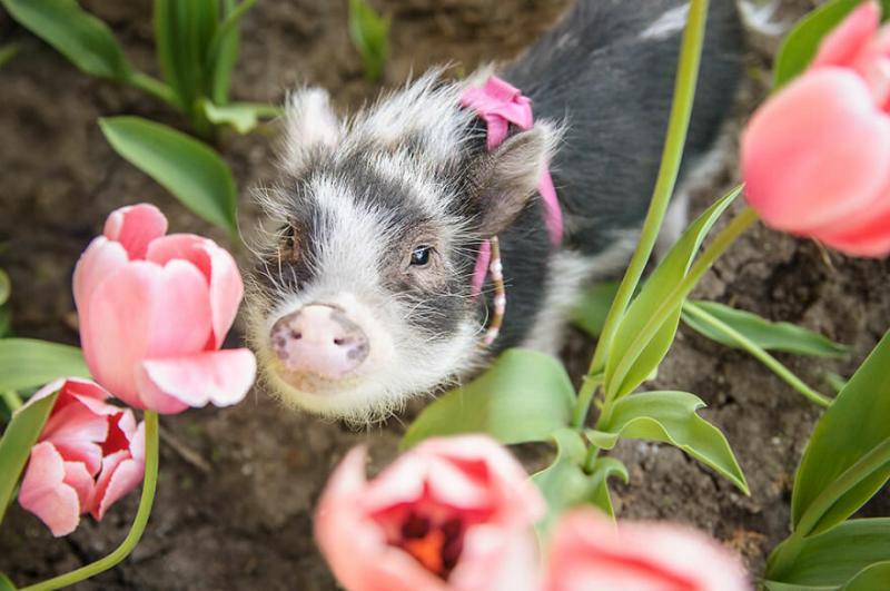 Звезда Инстаграма: свинья Флвффи в розовых тюльпанах