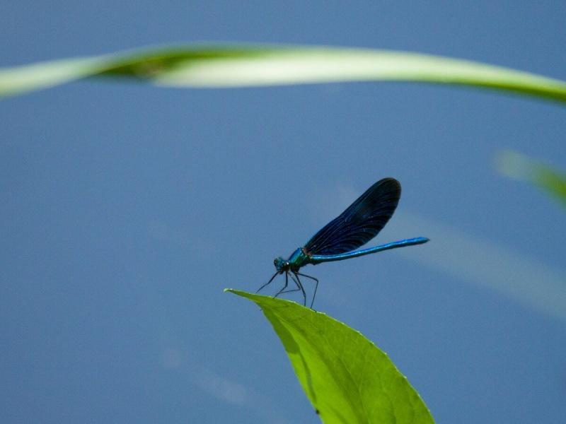 Блестящая красотка и красотка-девушка - стрекозы с необычным научным названием